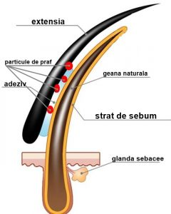 extensia gene